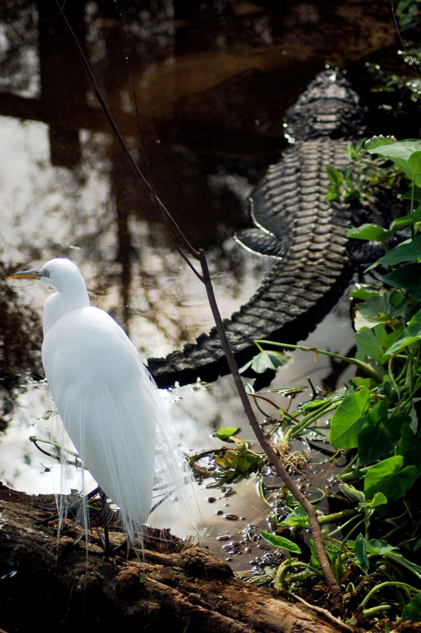 Great Egret with an Alligator
