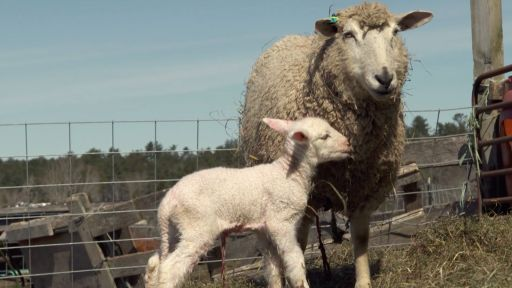 Clip |  Watch a Lamb Being Born