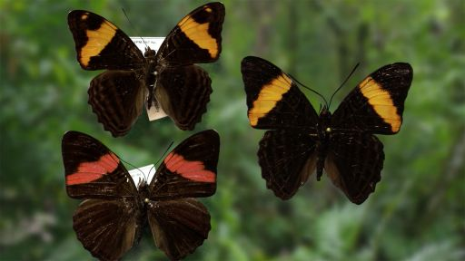 Clip |  Butterfly Mimicry