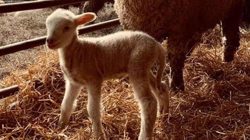 Clip |  Watch a Baby Lamb Take Its First Steps