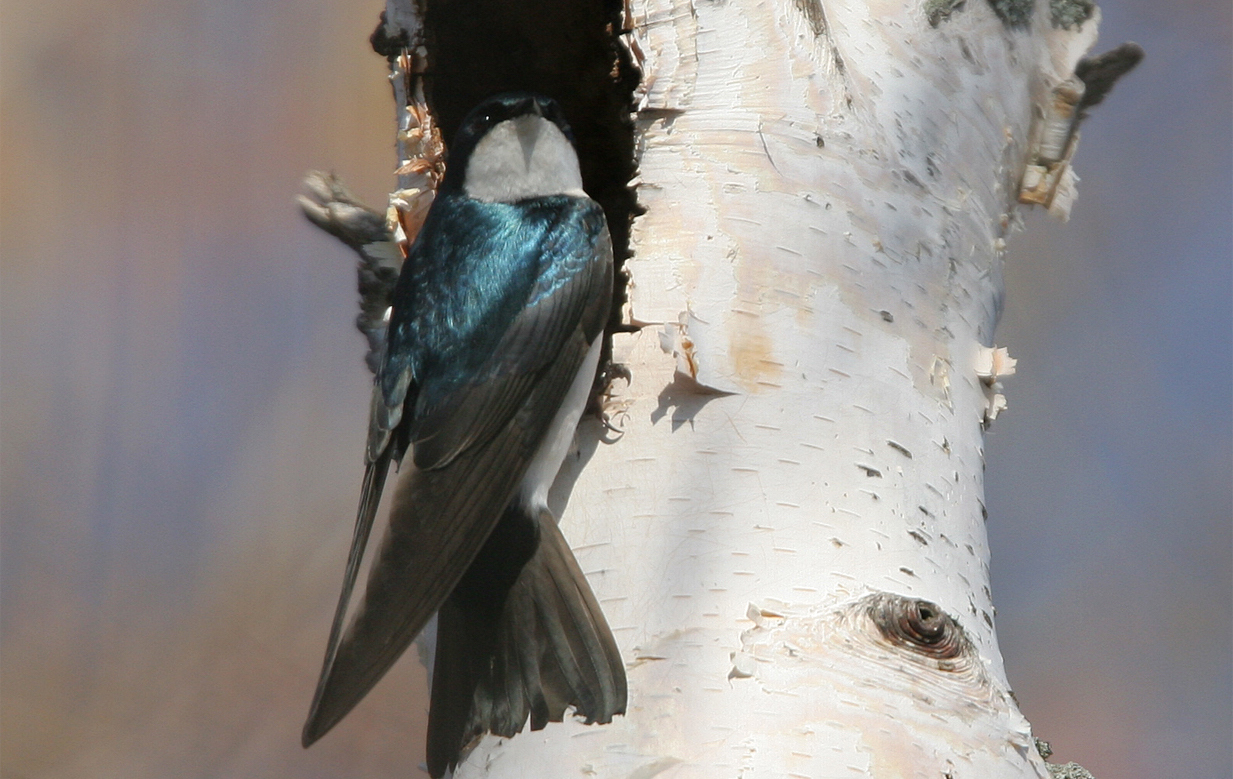A tree swallow. Photo by P-G Bentz.