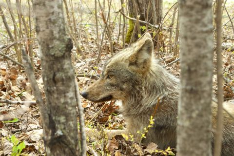 America's Best Idea at Work: 45 Years of Wolf Science and Conservation in Voyageurs National Park, MN