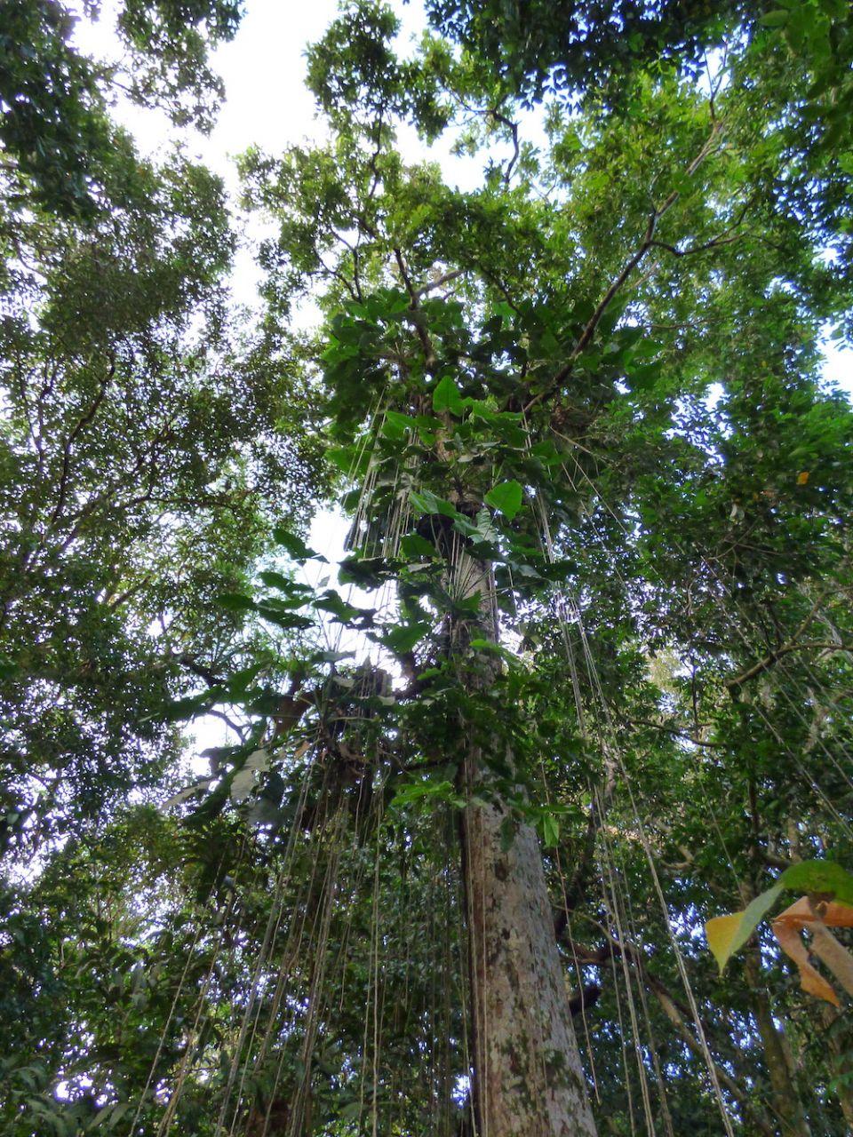 Amazon tree.