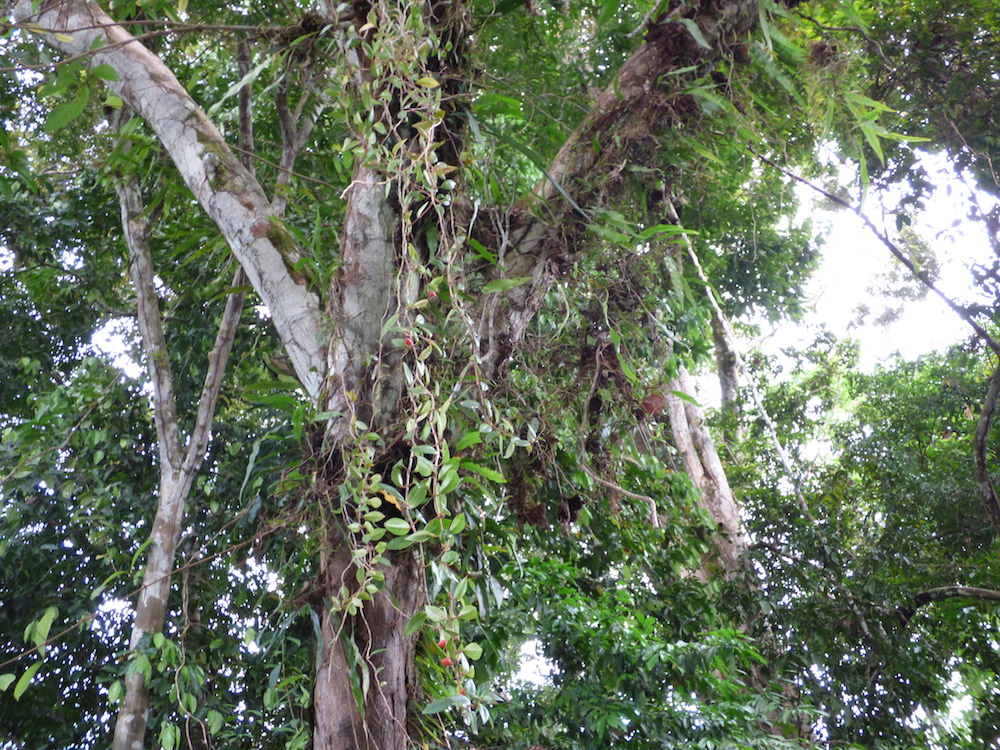 Ant Garden within an Amazon Tree.