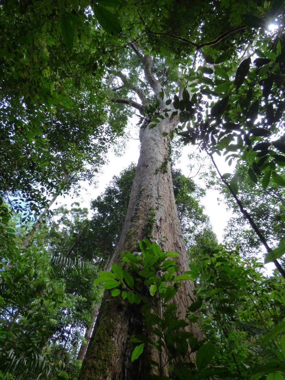 Amazon tree