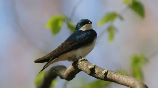 Rainy Springs Bring Disaster for Nesting Tree Swallows