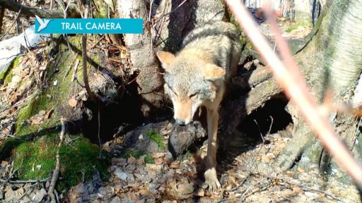 Clip |  Mom Saves Pups on Wolf Trail Cam