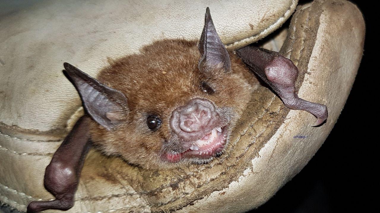 Bracyphylla cavernarum, fruit-eater bat. Photo by Lisa Sims.