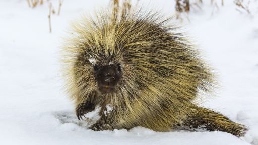 When Porcupines Live In Fear
