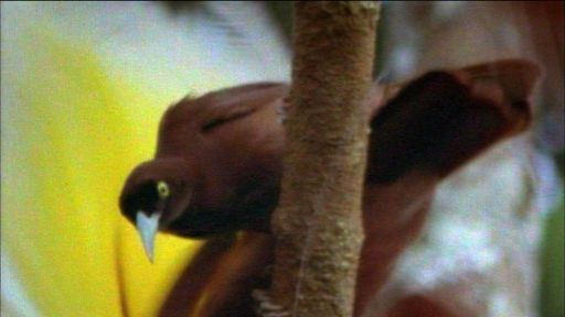 Clip |  Greater Bird of Paradise