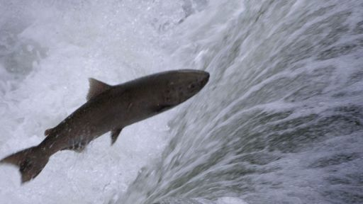 Salmon: Running the Gauntlet -- Salmon: Running the Gauntlet - Trailer