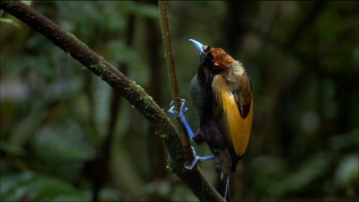 Birds of the Gods -- Magnificent Bird of Paradise