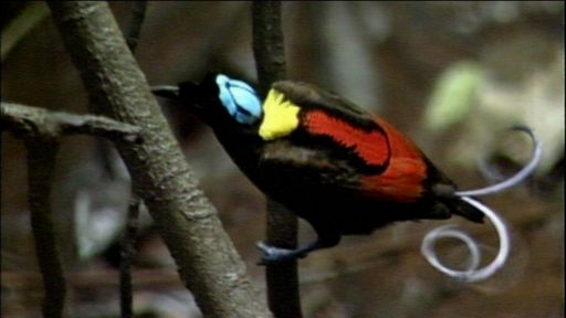 Clip | Wilson's Bird of Paradise