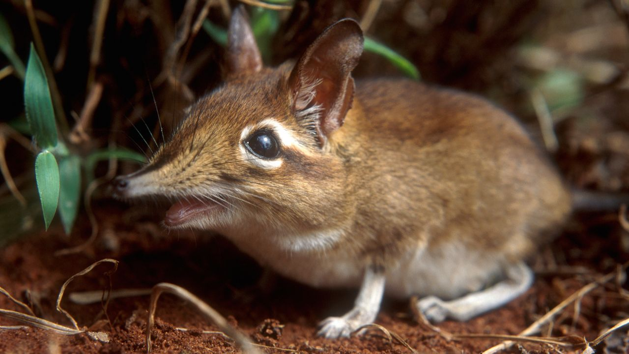 A sengi on the run. Credit: © John Downer/ Naturepl.com