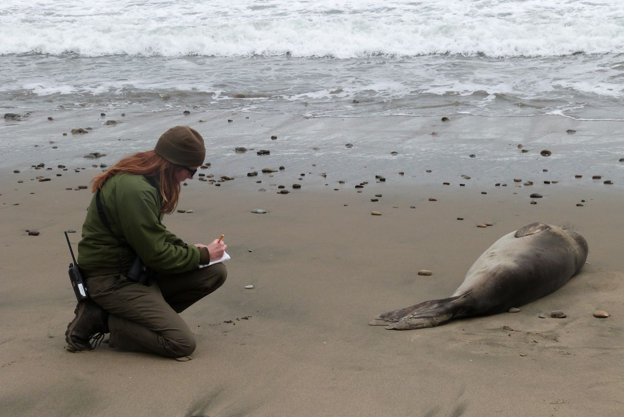 Sarah Codde taking notes on a young elephant seal