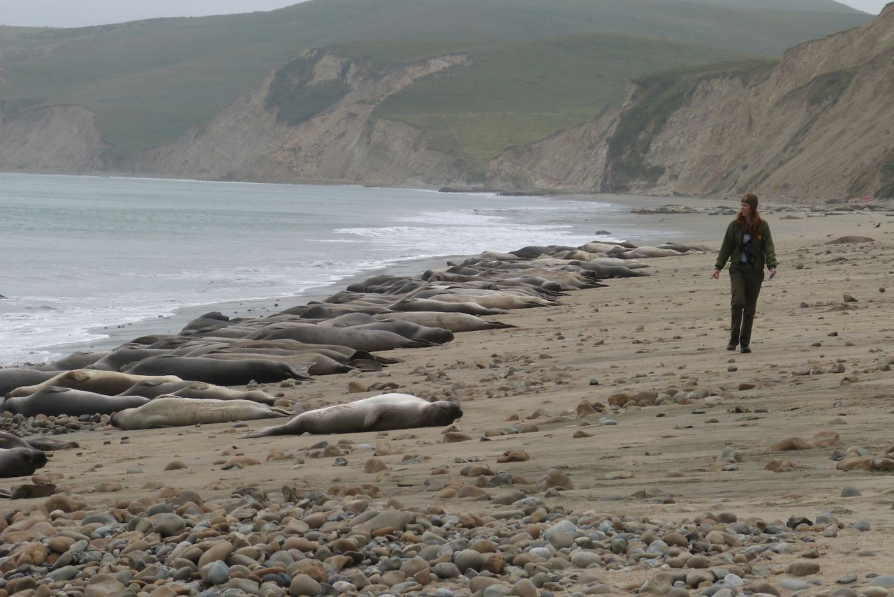 Colony of Elephant Seals