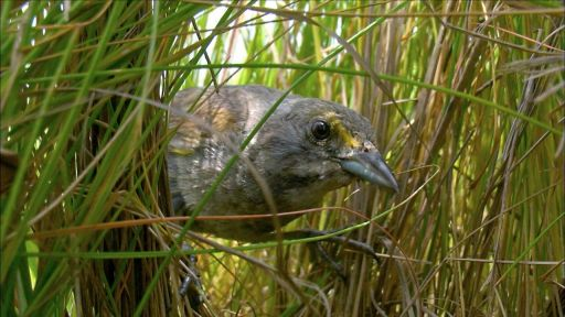 Animal Homes: The Nest -- Saltmarsh Sparrow Chick Narrowly Escapes Death