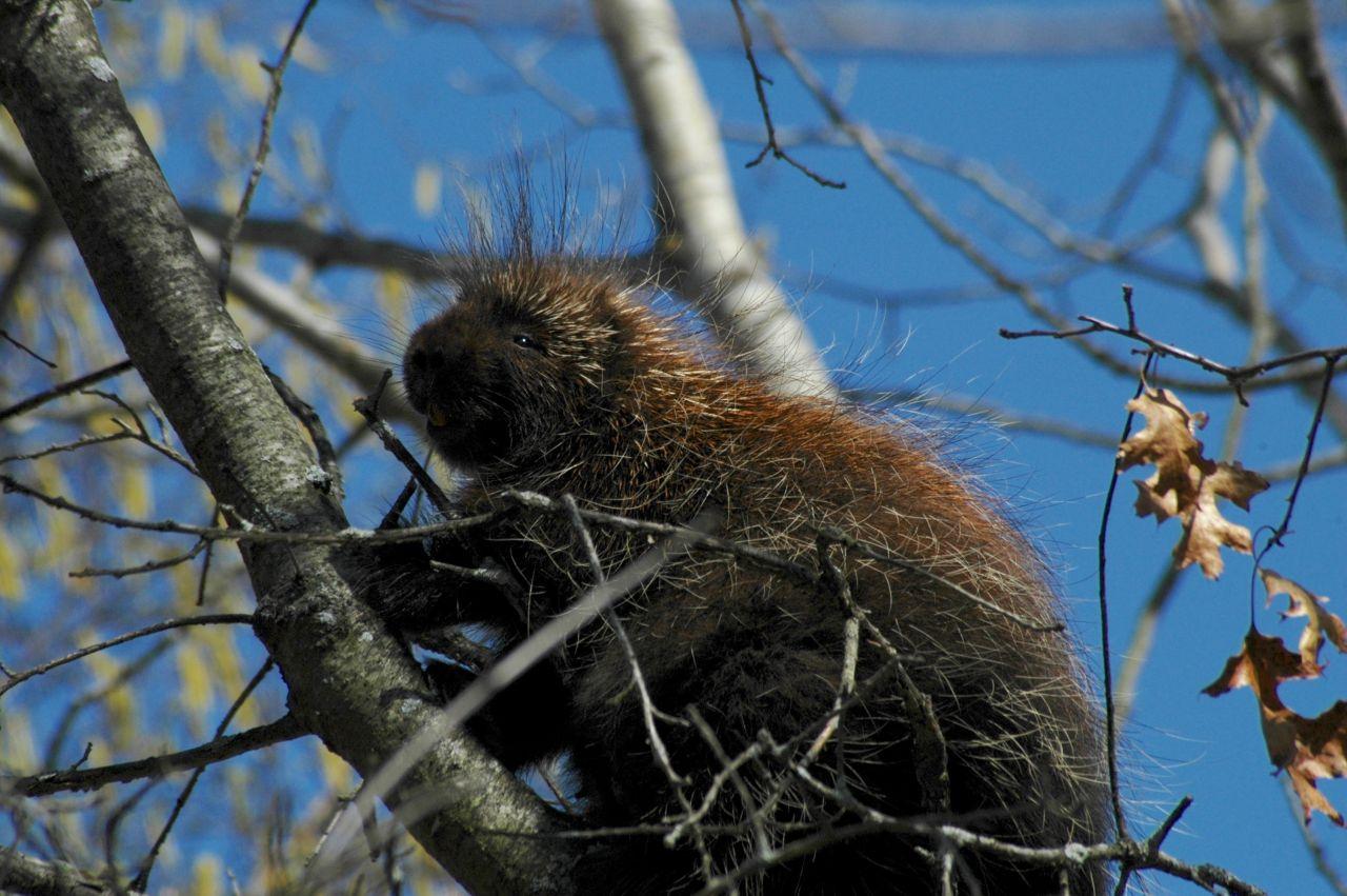 Porcupine up a tree