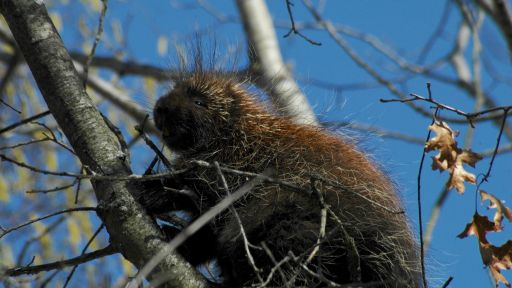 Porcupine up a tree