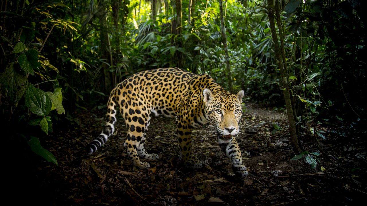 Jaguar - Super Cats