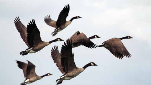Divorce in Canada Geese