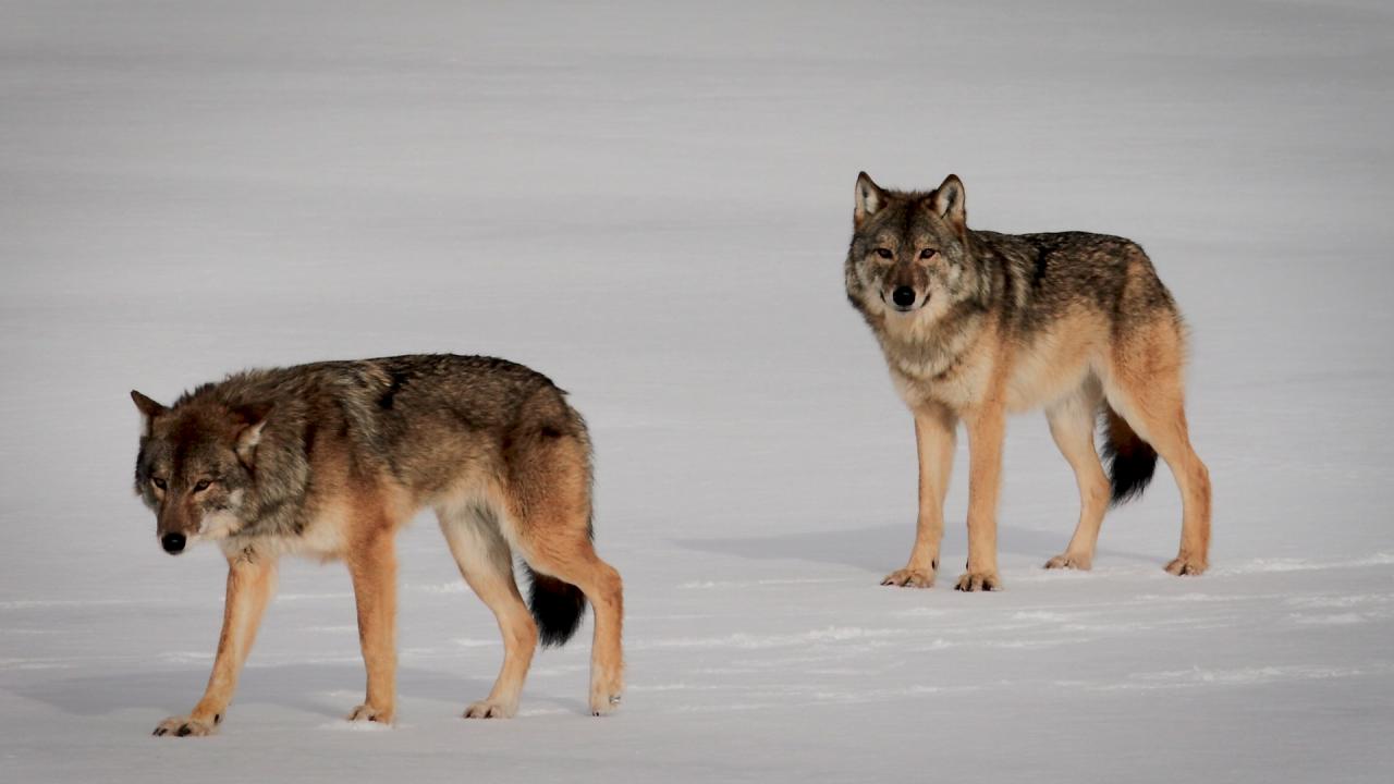 Wolves of Isle Royale