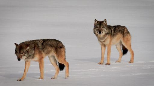 Wolves of Isle Royale