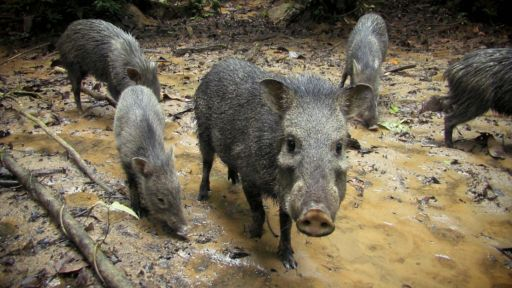 Undercover in the Jungle -- What's this bristly-looking pig?