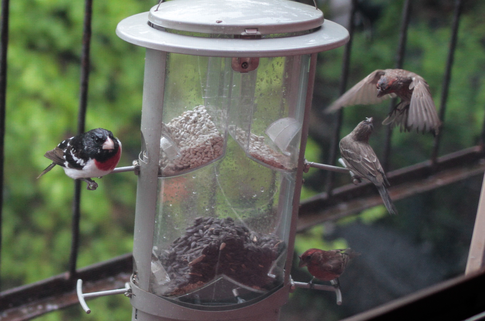 Wild birds at birdfeeder