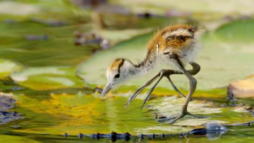 Clip | Jacana Dad Rescues Chicks from Crocodile