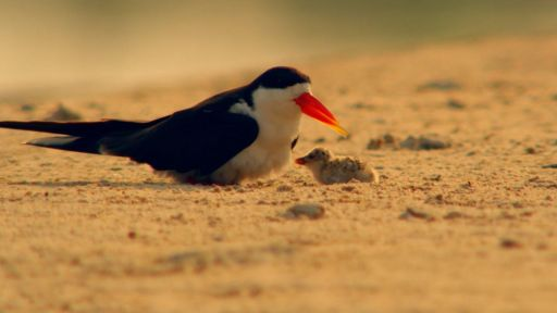Okavango: River of Dreams - Episode 1: Paradise -- African Skimmer Parenting
