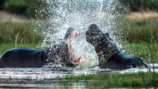 Okavango: River of Dreams - Episode 1: Paradise -- Hippos Fight Over Territory