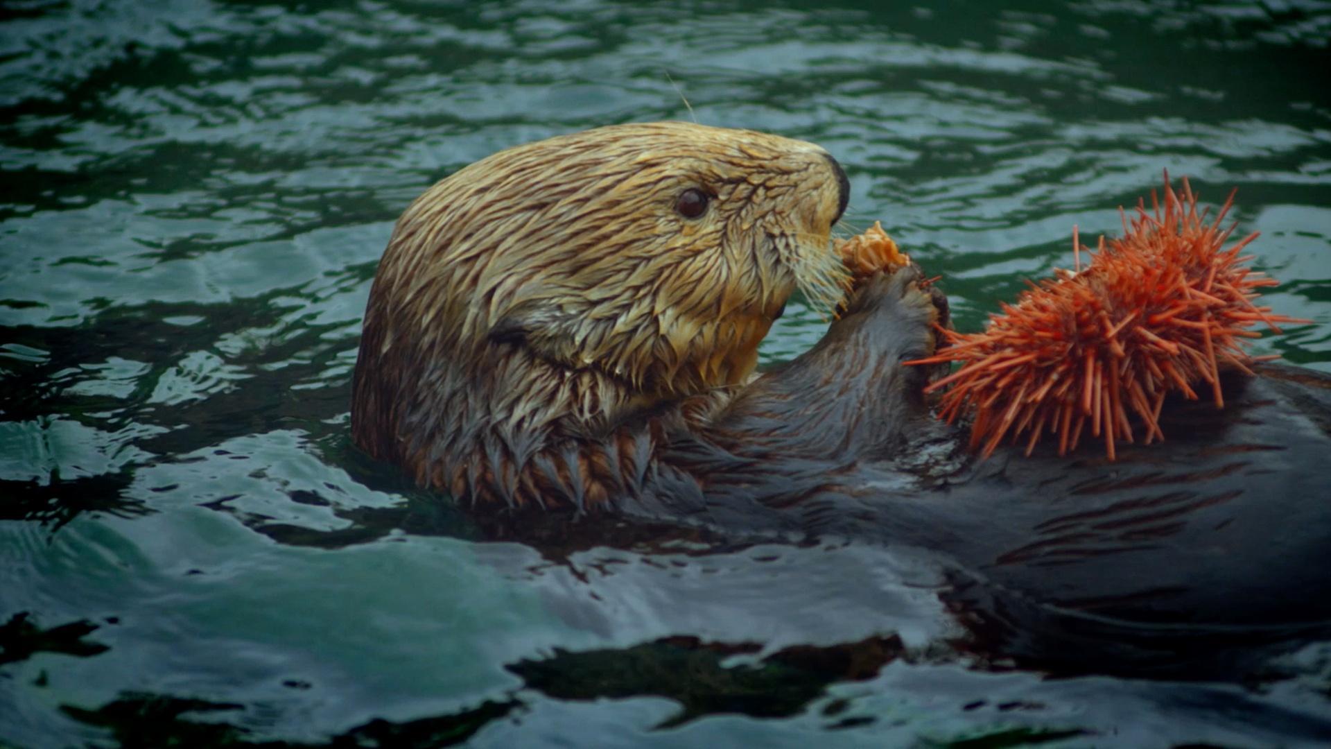 Clip | The Serengeti Rules - Otters & Orcas: An Alaskan Mystery