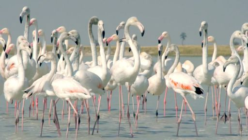 Clip | Flamingos Feed After the Rains