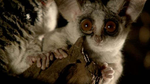 Okavango: River of Dreams - Episode 2: Limbo -- Bushbaby Snacks on Insects