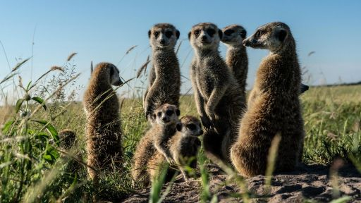 Clip | Meerkats Meet Migrating Zebras