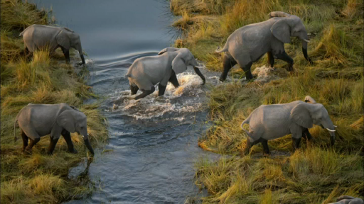 Elephants in the Okavango