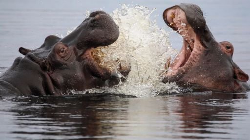 Hippos Fight Off Hungry Birds