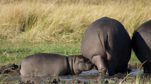 Clip |  Watch a Protective Mother Hippo Guard Her Baby