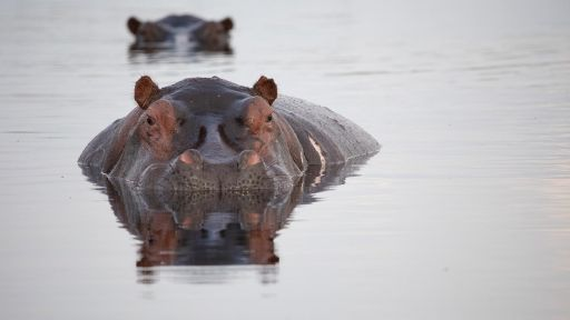 Hippos: Africa's River Giants - Preview