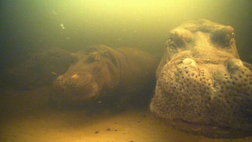 Inside NATURE – Hippos: Africa's River Giants