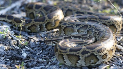 Fighting Back Against Invasive Burmese Pythons