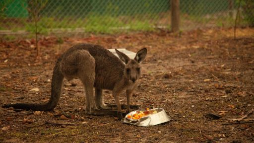Australia Wildfires: A NATURE Special Report -- Caregiver Feeds a Rescued Joey