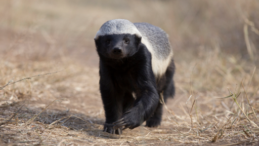 Clip |  Are Honey Badgers One Of the World's Smartest Animals?