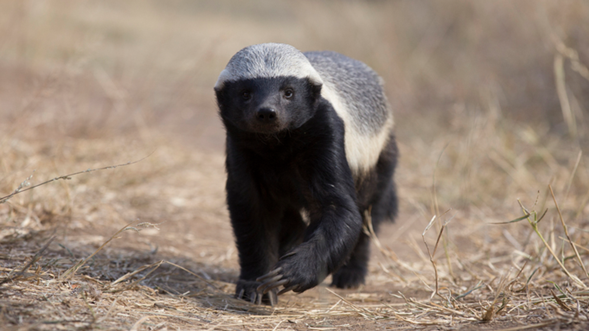 The Mighty Weasel Are Honey Badgers One Of The World S Smartest Animals Nature Pbs