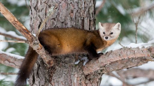 Why Do Weasels Have a Bad Reputation?