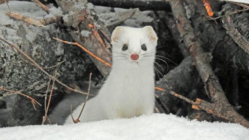 Good NATURE | Weasels