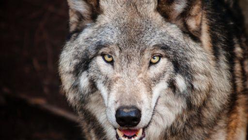 Wolves Fact Sheet