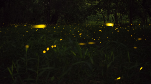 Lightning Bugs: At Risk of Extinction?