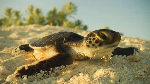 Cuba's Wild Revolution -- Watch Tiny Turtles Tumble Towards the Sea